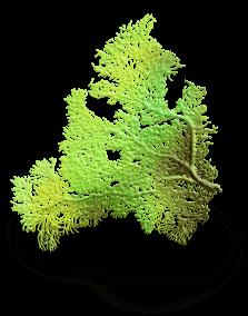Wodorosty morskie 5