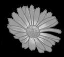 Petite Marguerite