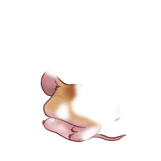 Mysz Domestique